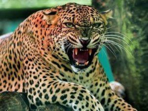 """India. Bimbo di 3 trovato senza testa nei boschi: """"Gliel'ha mangiata un leopardo"""""""