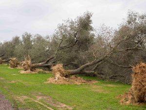 La Xylella arriva anche in Toscana: 41 piante infette. Ora s