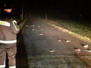 "Cesena invasa dai topi, è emergenza: ""A centinaia in strada"