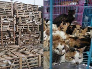 """Cina, centinaia di gatti salvati dal commercio di carne: """"Sarebbero stati mangiati al ristorante"""""""