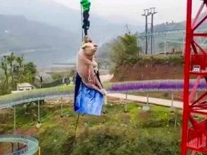 Cina, maiale vivo legato e costretto a fare bungee jumping i