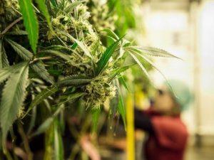 Legalizzare la cannabis significa creare milioni di posti di