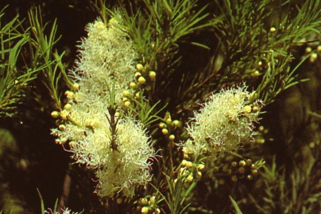 Tea tree oil: proprietà, utilizzi, controindicazioni