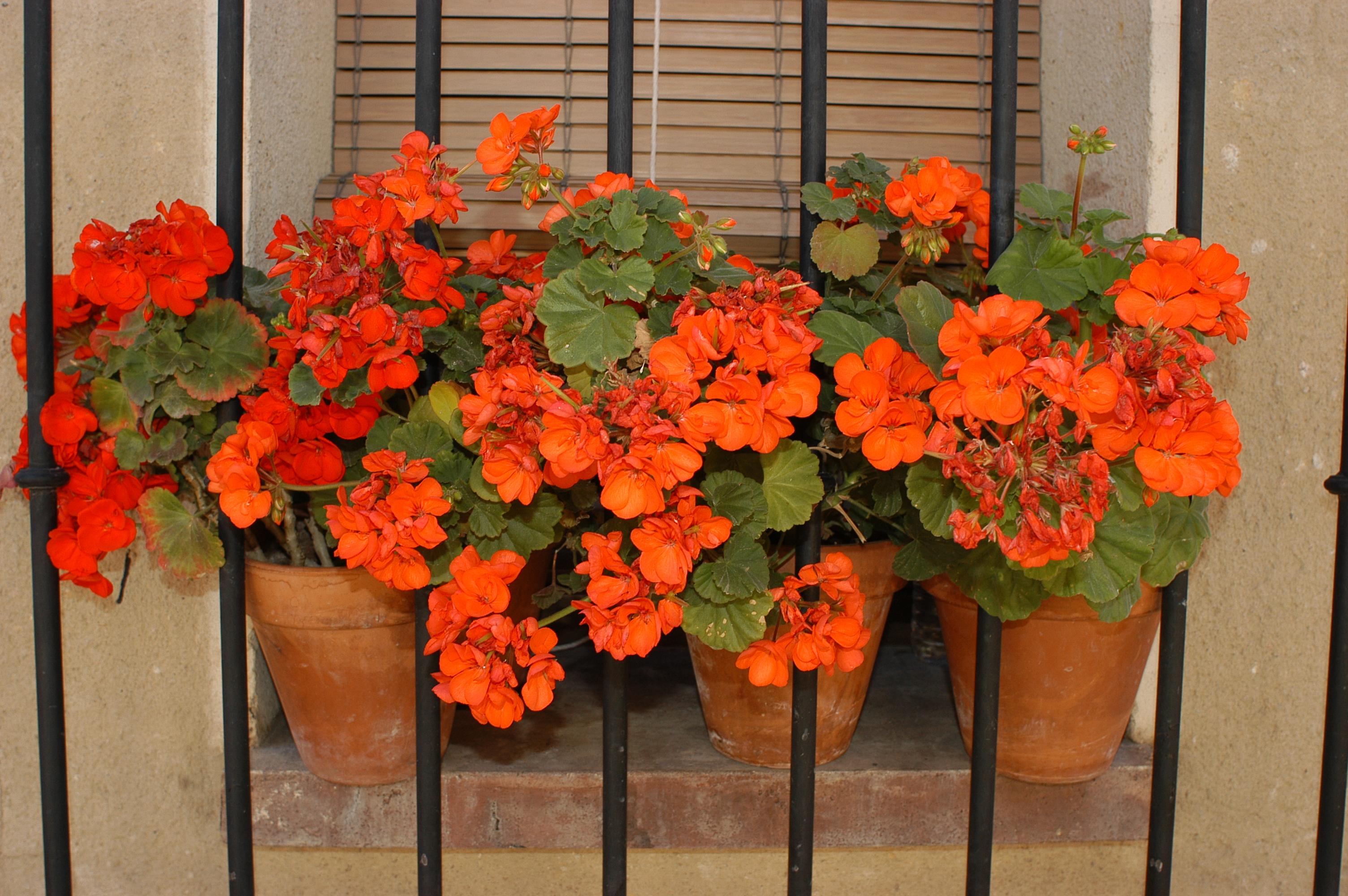 Piante antizanzare per il balcone di casa for Piante fiorite perenni da esterno