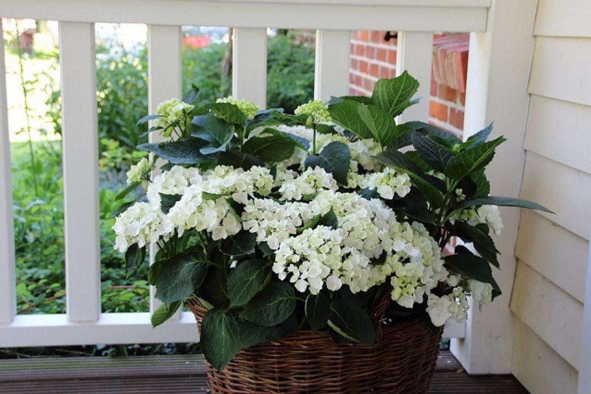 Clematis Resistenti Al Freddo piante perenni: come scegliere quelle più adatte a balconi e