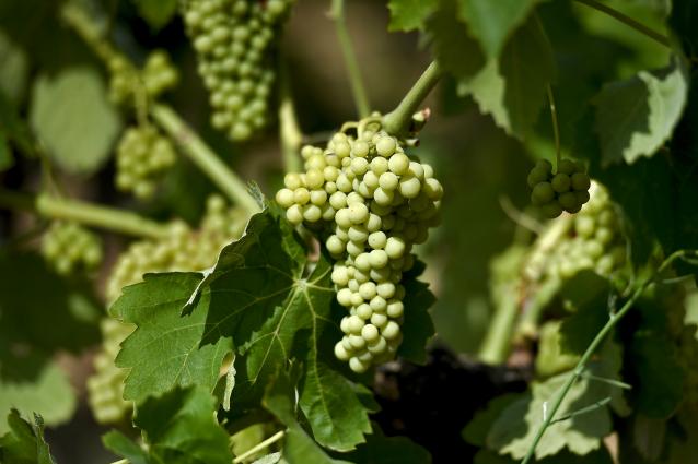 Uva: proprietà e benefici