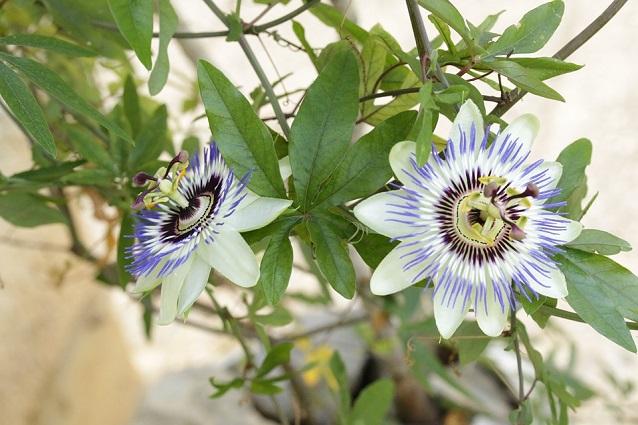 passiflora propriet benefiche usi e controndicazioni. Black Bedroom Furniture Sets. Home Design Ideas