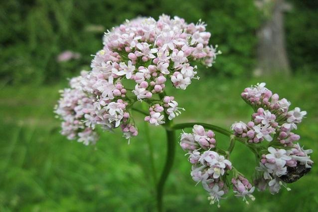 Valeriana: proprietà benefiche, usi e controindicazioni