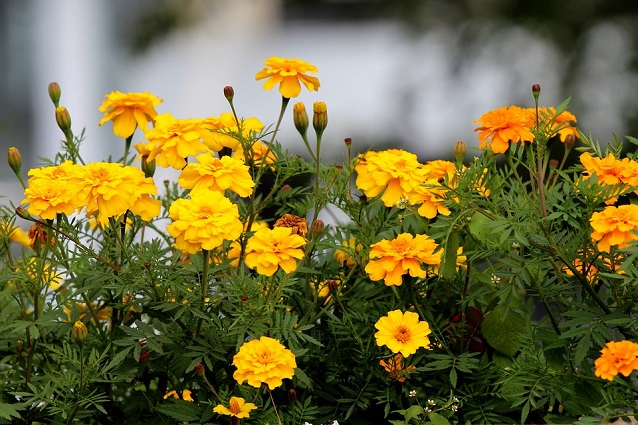 Calendula la pianta officinale da coltivare in vaso o in - La felce pianta ...