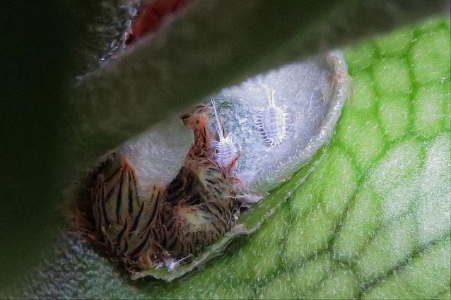 Cocciniglia cotonosa: cos'è e rimedi naturali - GreenStyle
