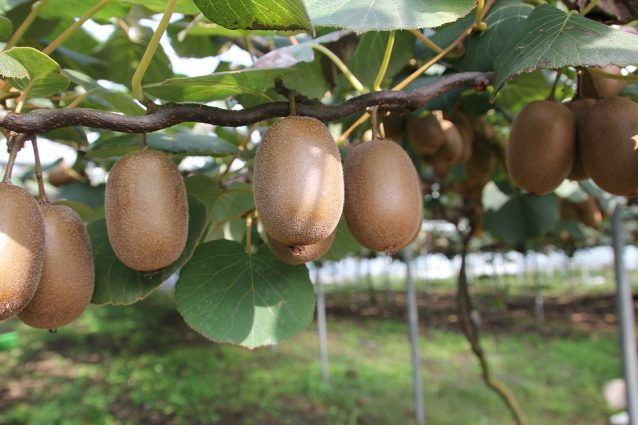 Kiwi: trucchi per la coltivazione, quando piantarlo e come prendersene cura