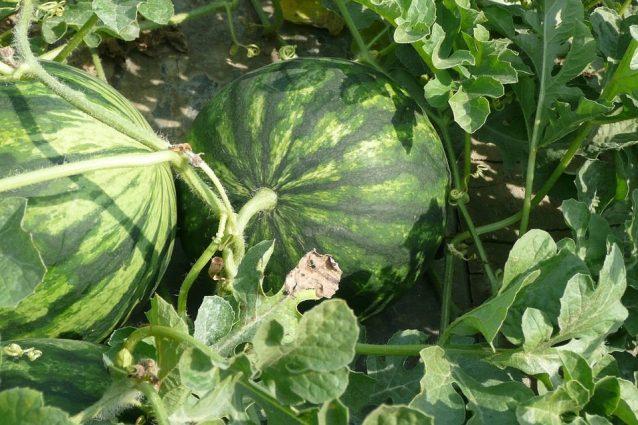 Coltivazione dell'anguria: come seminarla in orto o giardino