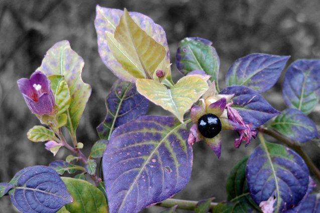 Belladonna: proprietà e controindicazioni del rimedio omeopatico dalle tante virtù