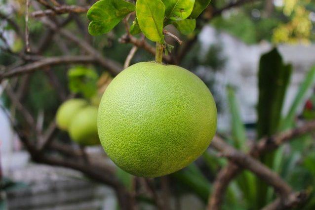 Pomelo: proprietà benefiche, usi e controindizazioni