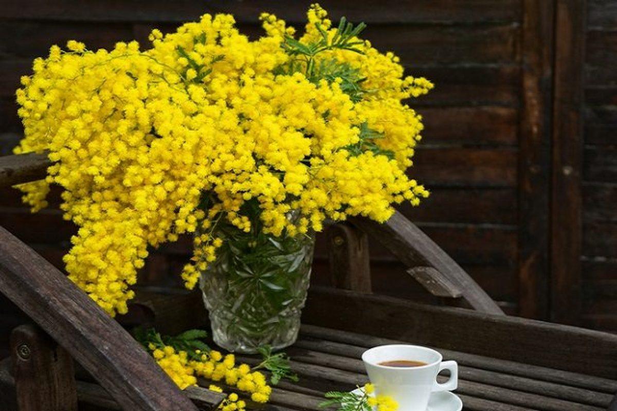 Come Far Durare A Lungo La Mimosa I Consigli Per Conservarla Fresca