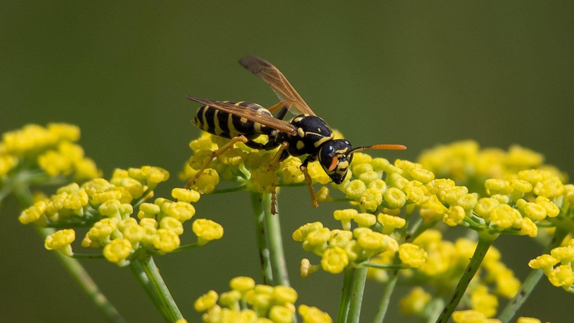 come allontanare api, vespe e calabroni: rimedi e consigli per
