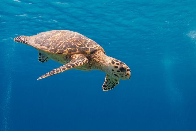 Tartaruga marina a Little Cayman – Foto di SF Brit