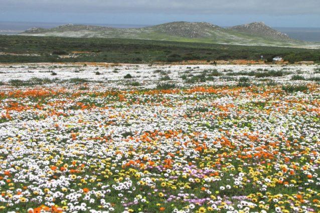 Fioritura del deserto del Namaqualand – Foto Wikimedia Commons
