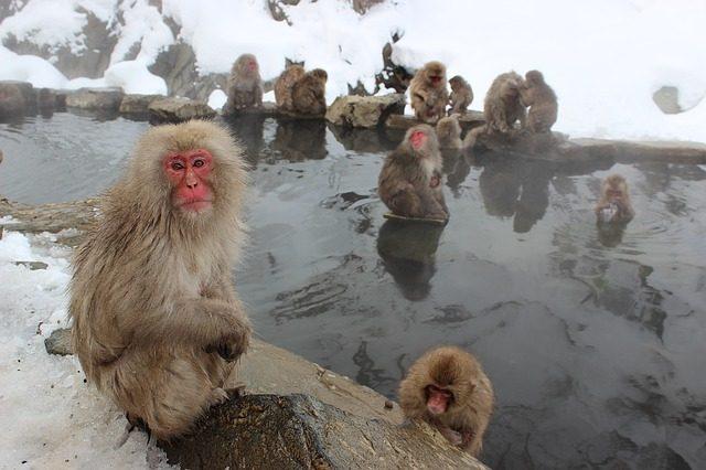 Jigokudani Monkey Park, Giappone – Foto maxpixel.freegreatpicture.com