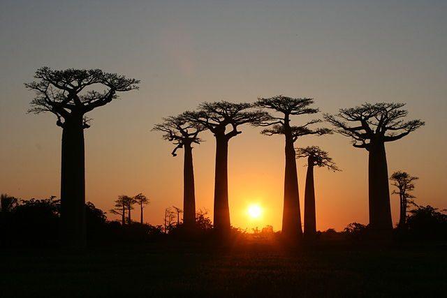 Viale dei Baobab – Foto Wikimedia Commons