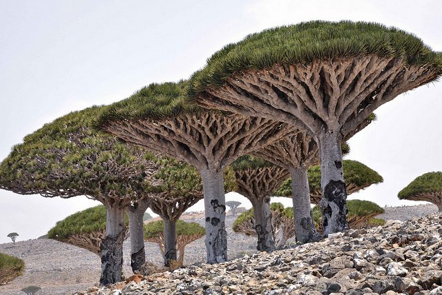 Alberi del Drago di Socotra – Foto di Rod Waddington