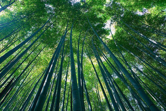 Foresta di bambù di Arashiyama – Foto Wikimedia Commons