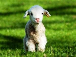 Mangi agnello a Pasqua?