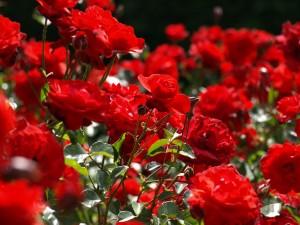 """Il 21 aprile riapre il Roseto Comunale: """"Museo a cielo aperto con 1000 tipi di rose"""""""
