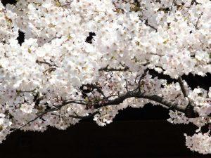 Hanami, la bellezza dei ciliegi in fiore all'Orto Botanico di Roma
