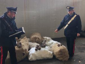 Roccagorga, rubano 10 quintali di pigne dalla pineta comunale: tre arresti