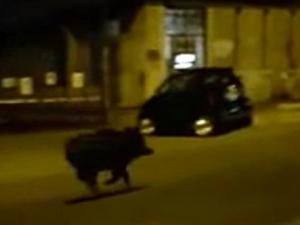 Investe cinghiale con l'auto a Settebagni. Nuovo caso dopo il motociclista rimasto ucciso
