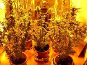 Scoperta una serra di marijuana automatizzata e controllata a distanza: 3 giovanissimi in manette