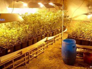 Ostia, scoperta mega piantagione di marijuana: sequestrate 360 piante e otto chili di stupefacente