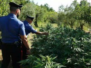 Maxi serra di marijuana scoperta alle porte di Roma: sequestrate oltre 1.500 piante