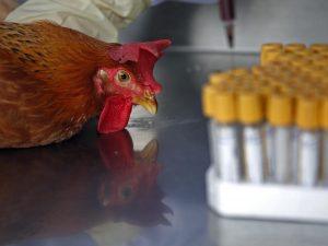 Allarme aviaria in provincia di Roma: focolaio a Tivoli, 17 comuni sotto sorveglianza
