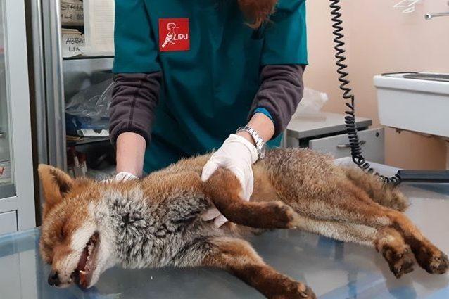 Villa Pamphilj, è morta Cedro, la volpe ritrovata in fin di