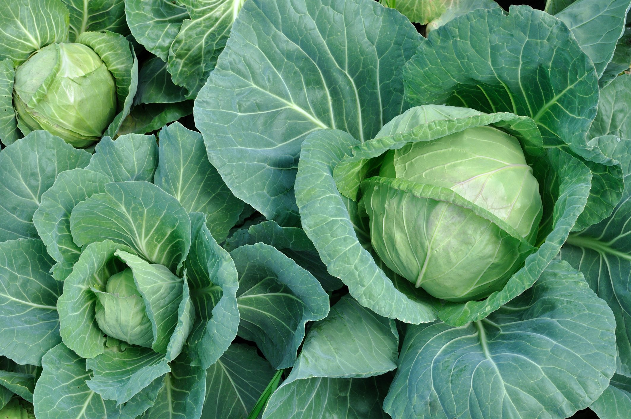 Know Your Cabbages Green Red Savoy Napa And More