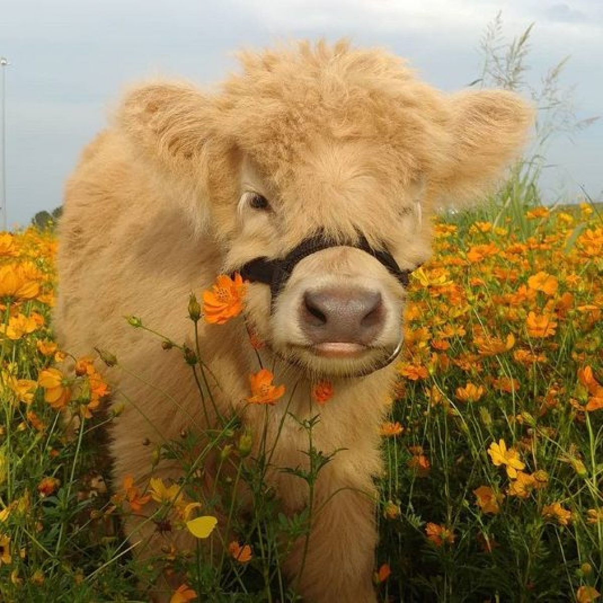 Fluffy Mini Cows Are The New Pet Trend – And Perhaps, The Best Choice!    Cookist.com