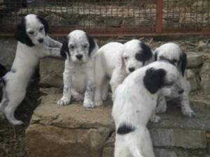 Desio, cuccioli abbandonati sulla superstrada tra le auto ch