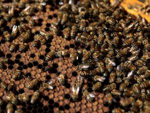 Sciame d'api ricopre completamente un'auto a Milano: residenti chiamano la polizia