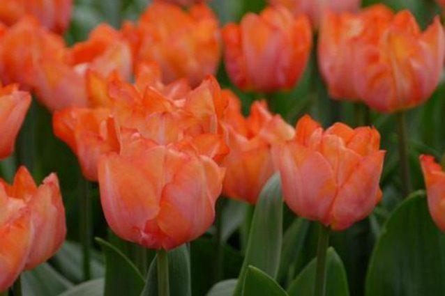 Il campo con 250mila tulipani alle porte di Milano: apparsi i primi boccioli
