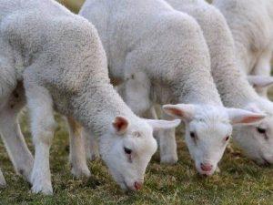 Blitz animalista al Duomo di Milano contro l'uccisione degli agnelli a Pasqua
