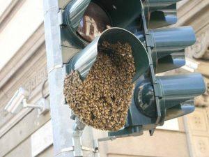 Le api sul semaforo in via Solferino a Milano (Foto di Domenico Panetta via Facebook)