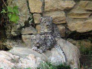 """Arman e Neko, i due cuccioli di leopardo delle nevi (foto dal sito web del parco faunistico """"Le Cornelle"""": www.lecornelle.it)"""