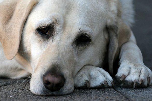 Lecco, cane mangia bocconi avvelenati e i padroni lasciano u