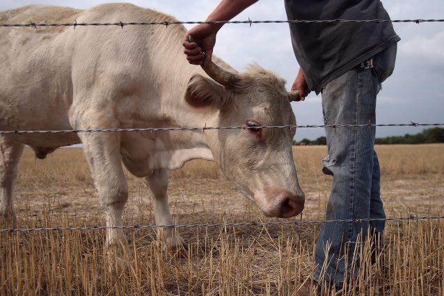 Abbiategrasso, ragazza aggredita da un toro mentre va a scuo
