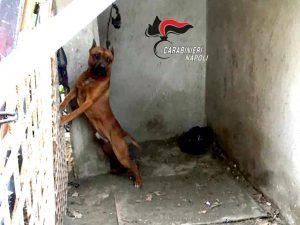 lega un pitbull al muro impedendogli di appoggiare a terra le zampe anteriori : denunciato.