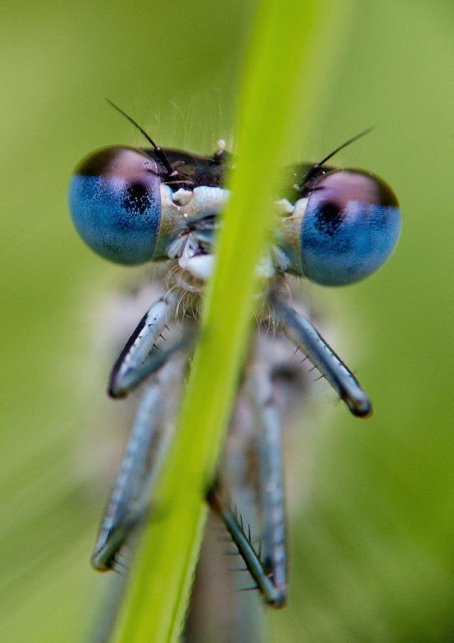 La libellula sa prevedere dove andranno le sue prede