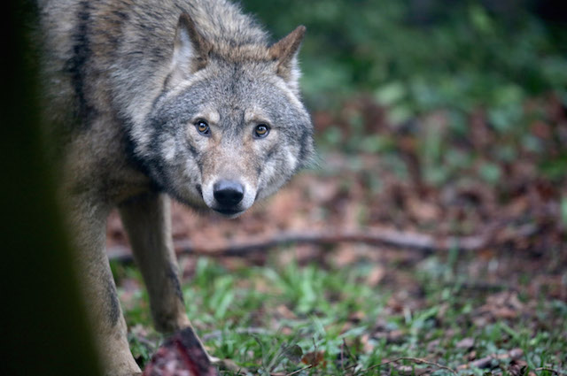 Tra l'uomo e il lupo è difficile dire chi sia il vero predatore