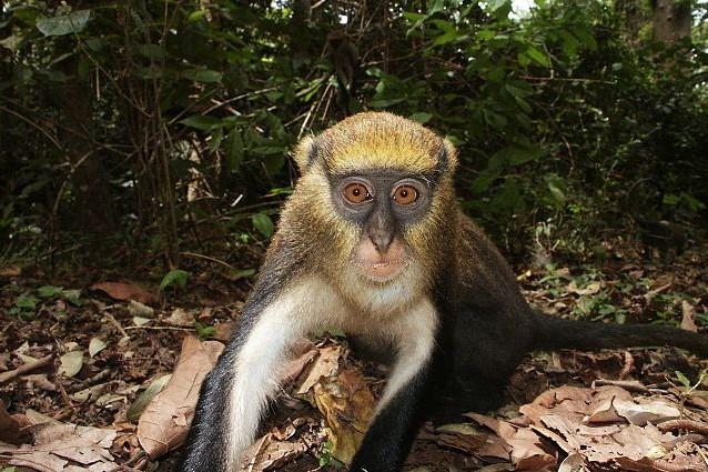 Le scimmie di Campbell comunicano in dialetto